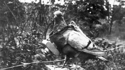 Təbii dronlar - Şəkil çəkən göyərçinlər